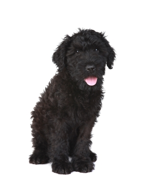 Breed Black Russian Terrier