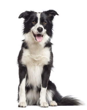 Breed Border Collie
