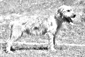 Breed Bosnian Coarse-haired Hound