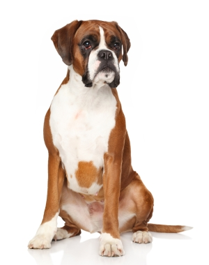 Breed Boxer