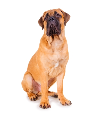 Breed Bullmastiff