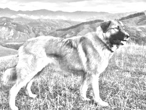 Breed Carpathian Shepherd Dog