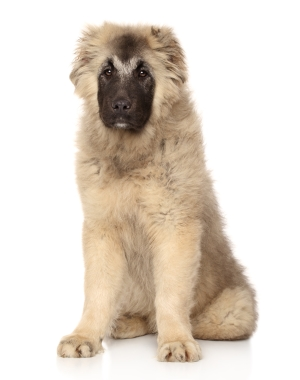 Breed Caucasian Shepherd Dog