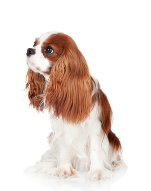 Breed Cavalier King Charles Spaniel