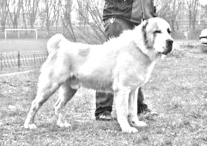 Breed Central Asian Shepherd Dog