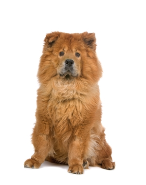 Breed Chow Chow