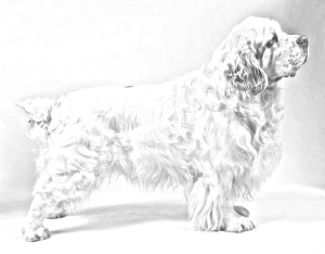 Breed Clumber Spaniel