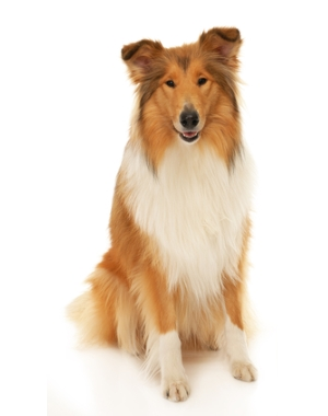 Breed Collie, Rough