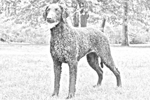 Breed Curly Coated Retriever