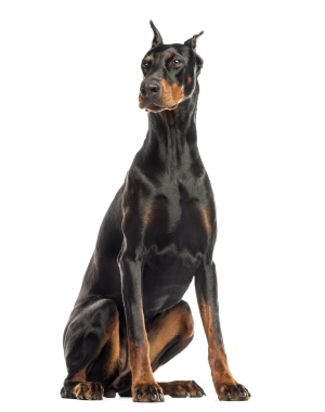 Breed Doberman Pinscher