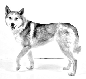Breed East Siberian Laika