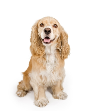 Breed English Cocker Spaniel
