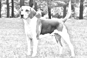 Breed English Foxhound