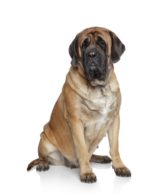 Breed English Mastiff