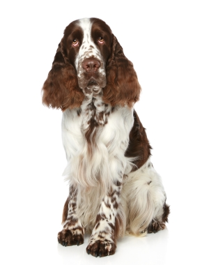 Breed English Springer Spaniel