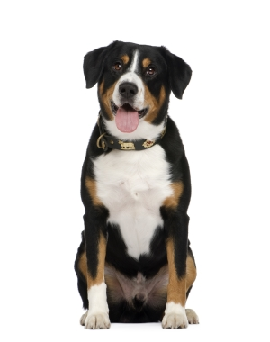 Breed Entlebucher Mountain Dog