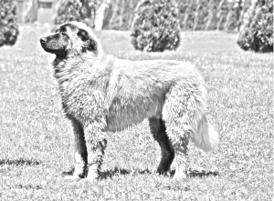 Breed Estrela Mountain Dog