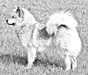 Breed Eurasier