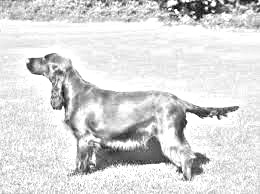 Breed Field Spaniel