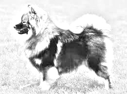 Breed Finnish Lapphund