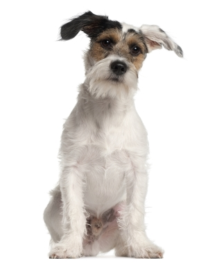 Breed Fox Terrier (Smooth)