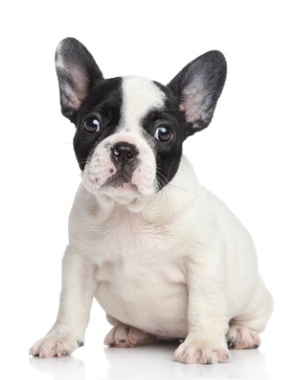 Breed French Bulldog
