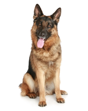 Breed German Shepherd Dog