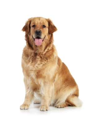 Breed Golden Retriever