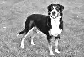 Breed Greater Swiss Mountain Dog