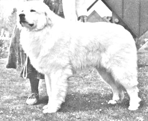 Breed Great Pyrenees