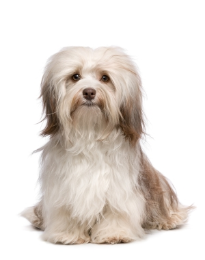 Breed Havanese