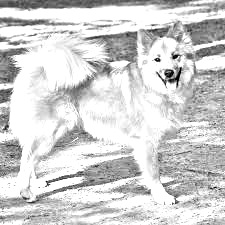 Breed Icelandic Sheepdog