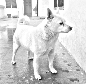 Breed Indian Spitz