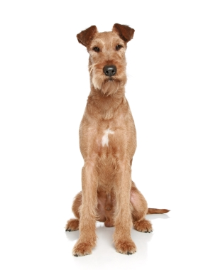 Breed Irish Terrier