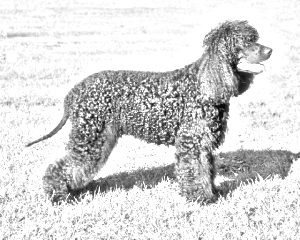Breed Irish Water Spaniel