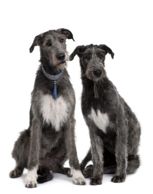 Breed Irish Wolfhound