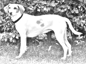Breed Istrian Shorthaired Hound