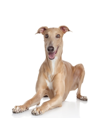 Breed Italian Greyhound