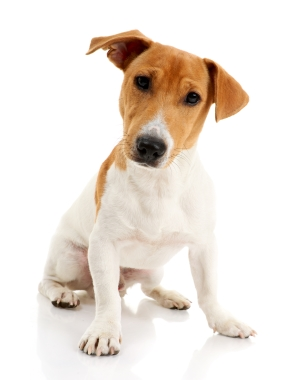 Breed Jack Russell Terrier