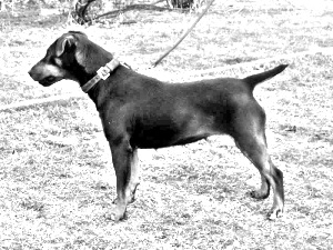 Breed Jagdterrier