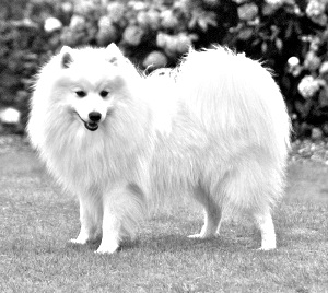Breed Japanese Spitz