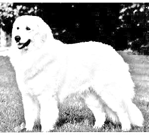Breed Kuvasz