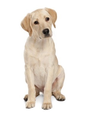 Breed Labrador Retriever