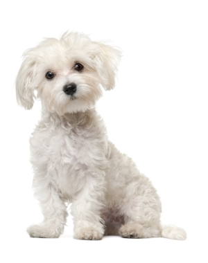 Breed Maltese