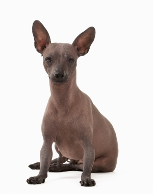 Breed Mexican Hairless Dog
