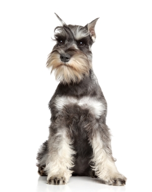 Breed Miniature Schnauzer