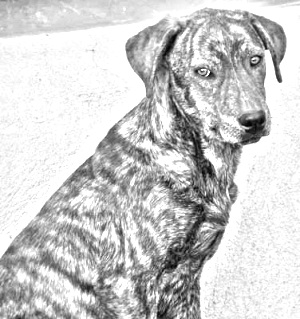 Breed Mountain Cur