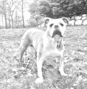 Breed Olde English Bulldogge