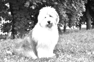 Breed Old English Sheepdog