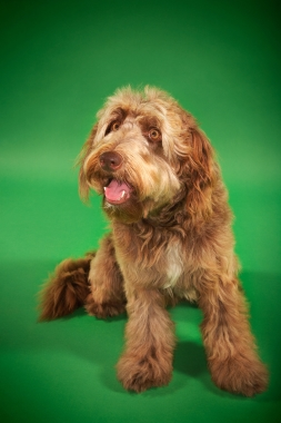 Breed Otterhound
